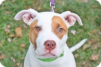 American Bulldog/American Pit Bull Terrier Mix Puppy for adoption in Reisterstown, Maryland - Mia
