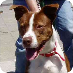 Border Collie/American Pit Bull Terrier Mix Dog for adoption in Berkeley, California - Dash
