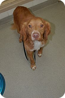 Nova Scotia Duck-Tolling Retriever Mix Dog for adoption in Bucyrus, Ohio - Nick Furry