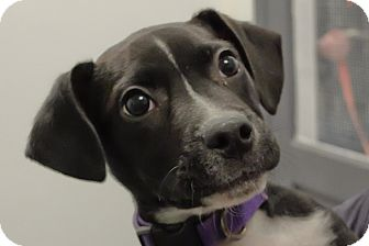 Labrador Retriever Mix Puppy for adoption in Martinsville, Indiana - Timon