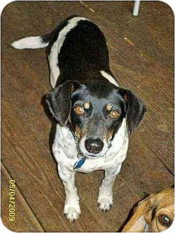 Beagle Mix Dog for adoption in Lincolndale, New York - Lucy
