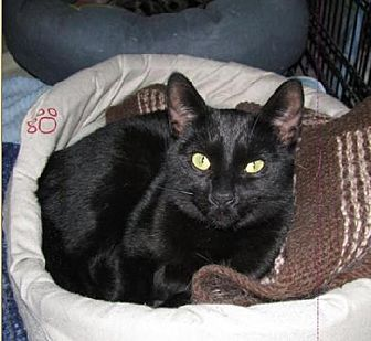 Domestic Shorthair Cat for adoption in Markham, Ontario - Georgette