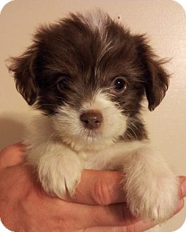Poodle (Miniature)/Chihuahua Mix Puppy for adoption in SOUTHINGTON, Connecticut - Rex