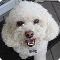 Adopt A Pet :: Cotton - La Costa, CA