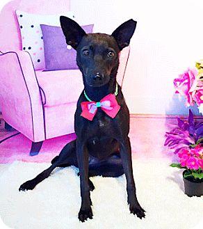 Labrador Retriever Mix Dog for adoption in Castro Valley, California - Anna