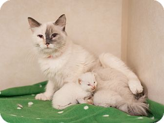 Domestic Mediumhair Cat for adoption in Dallas, Texas - Icicle