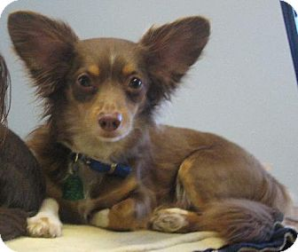 Chihuahua/Dachshund Mix Dog for adoption in Knoxville, Iowa - Buddy Boy