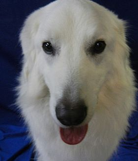 Maremma Sheepdog/Great Pyrenees Mix Dog for adoption in Granite Bay, California - CHUNK