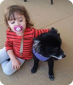 Spitz (Unknown Type, Small)/Pomeranian Mix Dog for adoption in Brooksville, Florida - Sonic