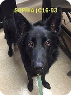 German Shepherd Dog/Labrador Retriever Mix Dog for adoption in Tiffin, Ohio - SOPHIA