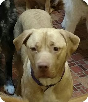 Labrador Retriever/Pit Bull Terrier Mix Dog for adoption in Kalamazoo, Michigan - Molly - Jen