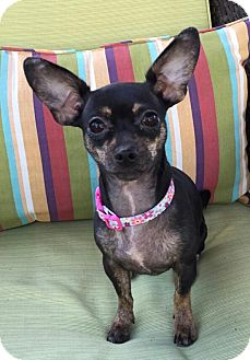 Chihuahua Dog for adoption in Encino, California - Sweetie