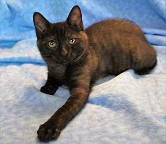 Domestic Shorthair Kitten for adoption in Greensboro, North Carolina - Evie