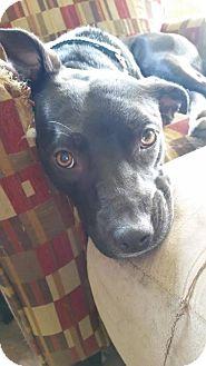 Labrador Retriever Mix Dog for adoption in Rochester, Minnesota - Penny