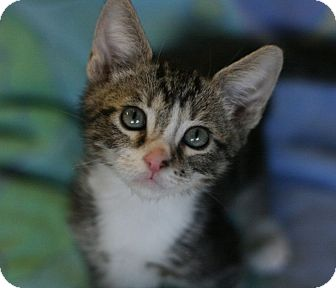 Domestic Shorthair Kitten for adoption in Canoga Park, California - Friar Tuck