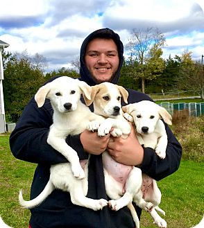 Labrador Retriever/Great Pyrenees Mix Puppy for adoption in Lafayette, New Jersey - Cloud-Serta-Cotton