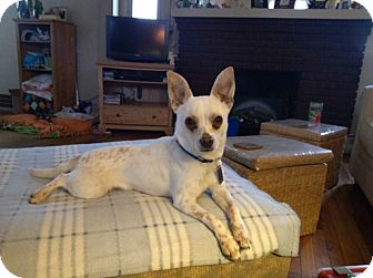 Chihuahua Mix Dog for adoption in Mentor, Ohio - Diesel