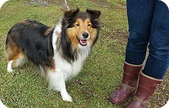 Sheltie, Shetland Sheepdog Dog for adoption in Denver, Colorado - Candy