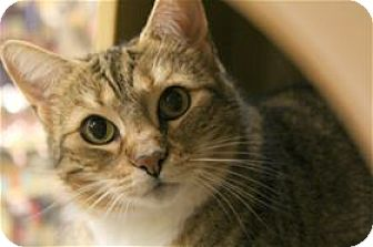 Domestic Shorthair Cat for adoption in Lincoln, California - Blondie