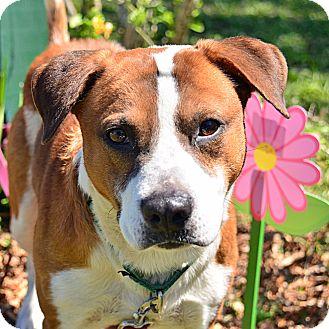 Hound (Unknown Type) Mix Dog for adoption in Brooksville, Florida - 10310090
