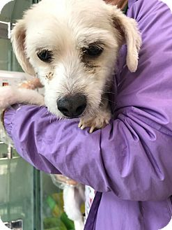 Maltese Dog for adoption in Ft Collins, Colorado - Mr. Peabody