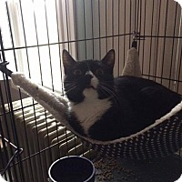 Adopt A Pet :: Sphinx - Baltimore, MD