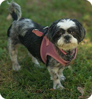 Shih Tzu Dog for adoption in Tallahassee, Florida - Josie - ADOPTED