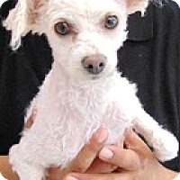 Adopt A Pet :: Poppy-ADOPTION PENDING - Boulder, CO