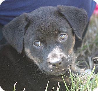 Australian Shepherd/Labrador Retriever Mix Puppy for adoption in Jewett City, Connecticut - Lil Kim