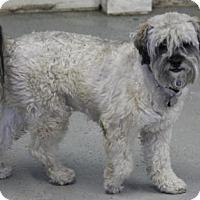 Adopt A Pet :: Scamp - Phoenix, AZ
