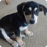 Adopt A Pet :: Shamrock - Washington, DC
