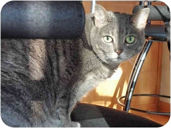 Domestic Shorthair Cat for adoption in San Diego, California - Mina
