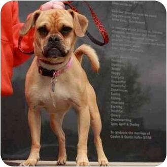 Pug/Beagle Mix Dog for adoption in Denver, Colorado - Paige