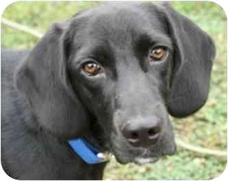Labrador Retriever/Beagle Mix Puppy for adoption in Huntsville, Alabama - Bogie
