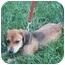 Photo 2 - Dachshund Mix Puppy for adoption in Rural Retreat, Virginia - Suki