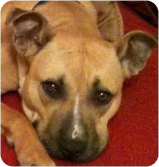American Pit Bull Terrier/Shepherd (Unknown Type) Mix Dog for adoption in Troy, Michigan - Chevy