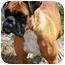 Photo 1 - Boxer Dog for adoption in Oswego, Illinois - Shelby