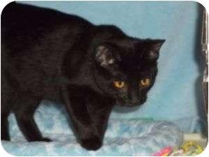Domestic Shorthair Cat for adoption in McDonough, Georgia - Becca w/Golden Eyes