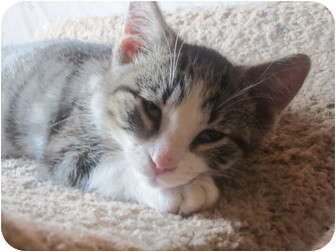Domestic Shorthair Cat for adoption in Sheboygan, Wisconsin - Flipse