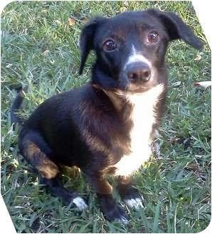 Rat Terrier/Dachshund Mix Puppy for adoption in Orlando, Florida - Mitz#4F