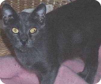 Domestic Shorthair Cat for adoption in El Cajon, California - Lyn