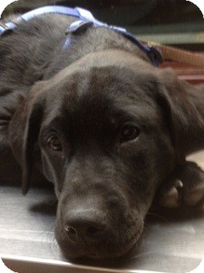 Labrador Retriever Mix Puppy for adoption in North Wales, Pennsylvania - Kohl