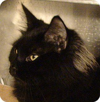 Domestic Longhair Cat for adoption in El Cajon, California - Sebastian