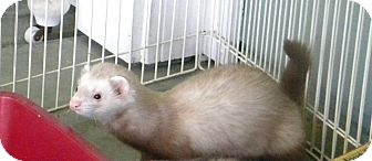 Ferret for adoption in Indianapolis, Indiana - Kobe