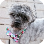 Shih Tzu/Poodle (Miniature) Mix Dog for adoption in Wheaton, Illinois - Claude