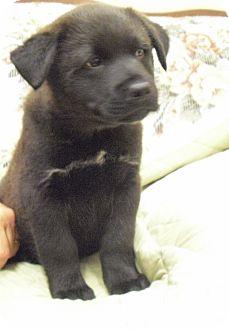 Chow Chow/Retriever (Unknown Type) Mix Puppy for adoption in Wickenburg, Arizona - Gilbert