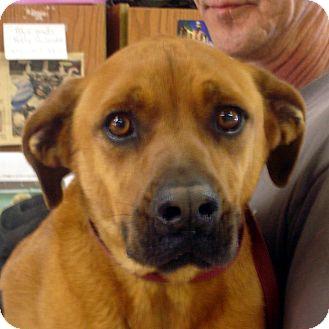 Boxer/Labrador Retriever Mix Dog for adoption in Greencastle, North Carolina - Beau