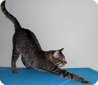 Domestic Shorthair Cat for adoption in Murphysboro, Illinois - Lafayette