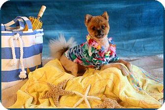 Pomeranian Dog for adoption in conroe, Texas - Elvis