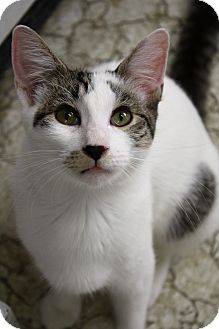 Domestic Mediumhair Kitten for adoption in Morristown, New Jersey - Lucille